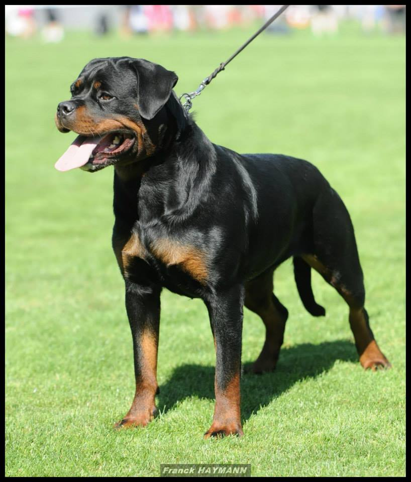 centrale canine rottweiler