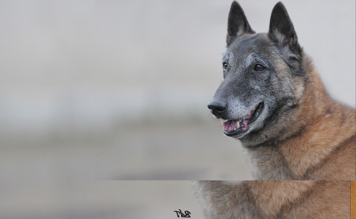 Le Malinois Societe Centrale Canine