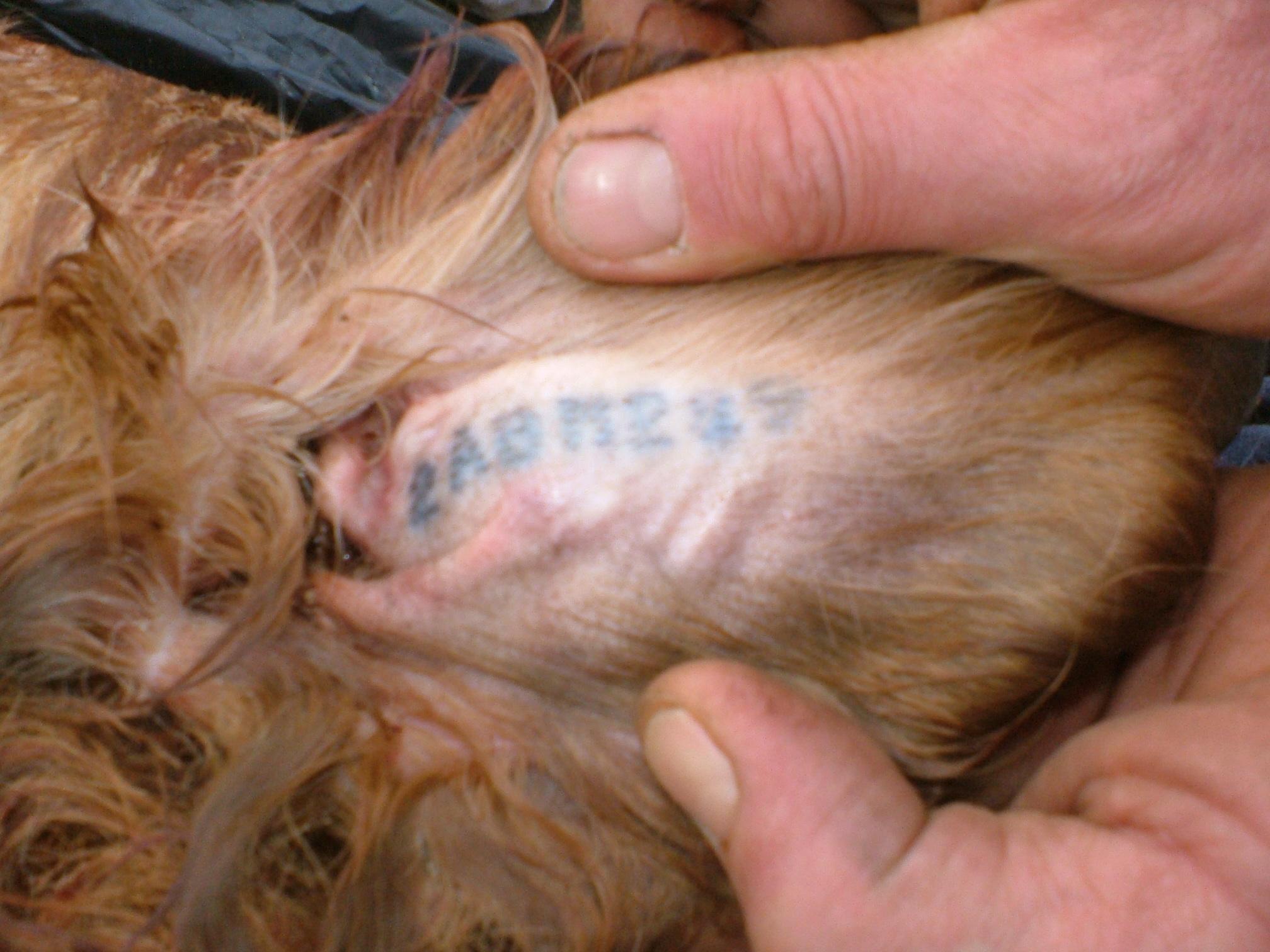centrale canine tatouage