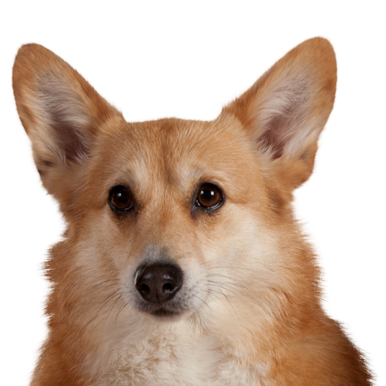 Welsh Corgi Pembroke Societe Centrale Canine