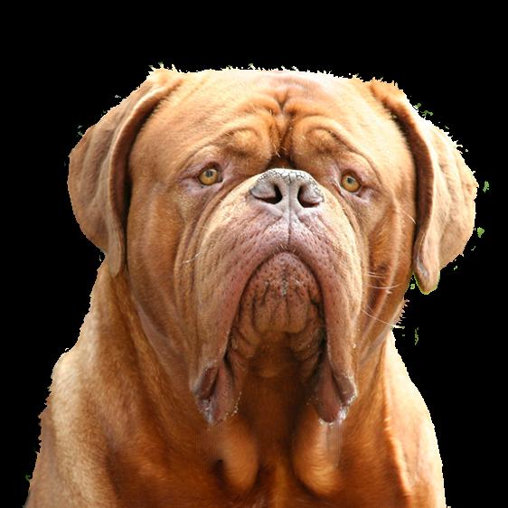 Dogue De Bordeaux Societe Centrale Canine