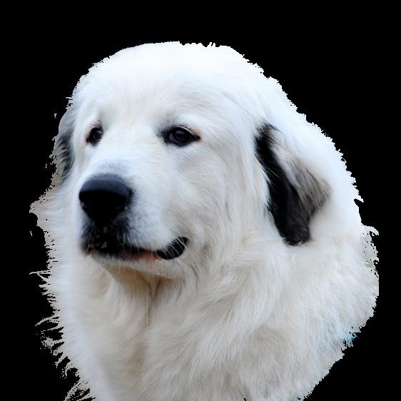 Chien De Montagne Des Pyrenees Societe Centrale Canine