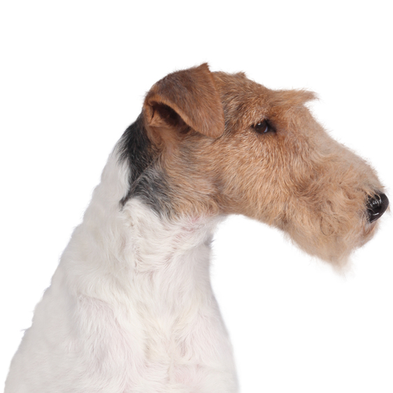 centrale canine fox terrier