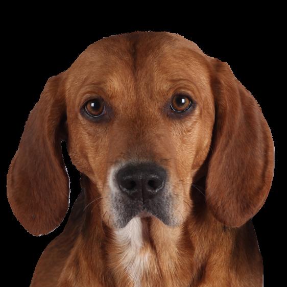 Beagle Harrier Societe Centrale Canine