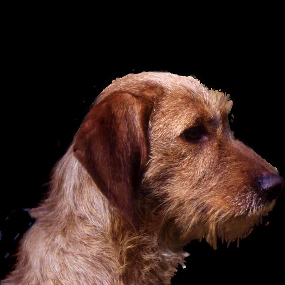 Basset Fauve De Bretagne Societe Centrale Canine