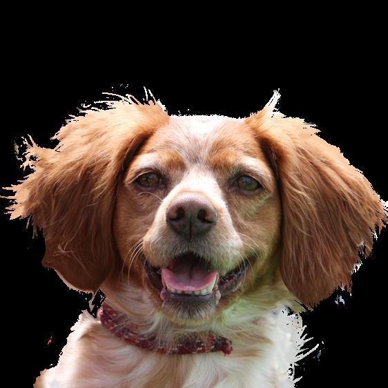 Epagneul Breton Societe Centrale Canine