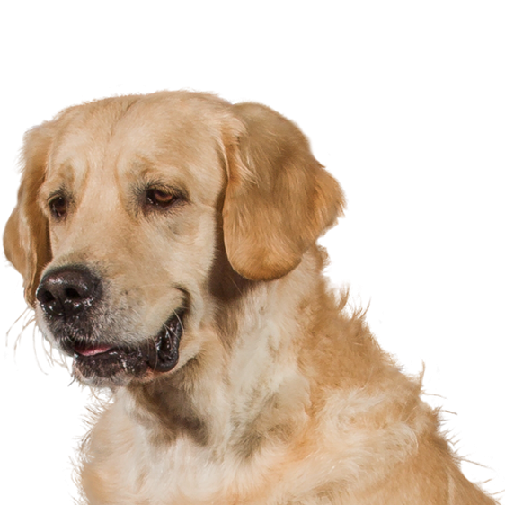 centrale canine golden retriever
