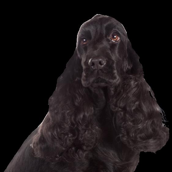 Cocker Spaniel Anglais Societe Centrale Canine