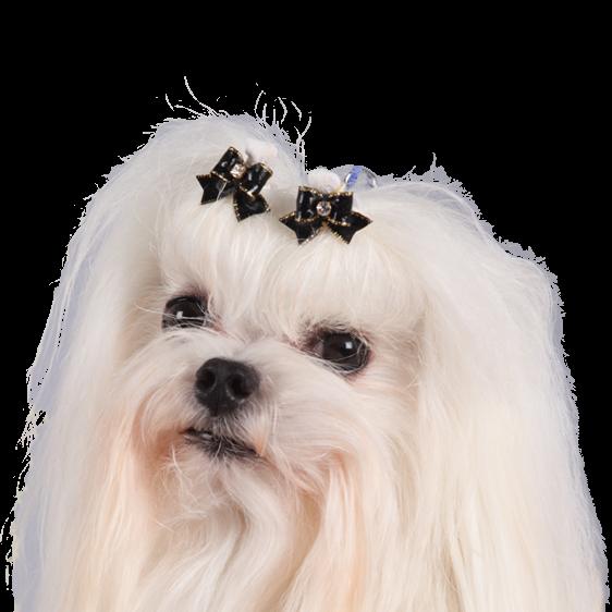 centrale canine bichon maltais
