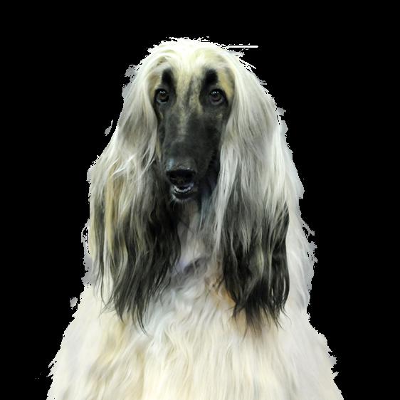 Levrier Afghan Societe Centrale Canine
