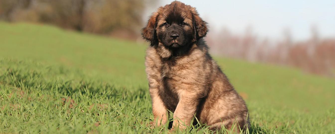 Chien De Leonberg Societe Centrale Canine