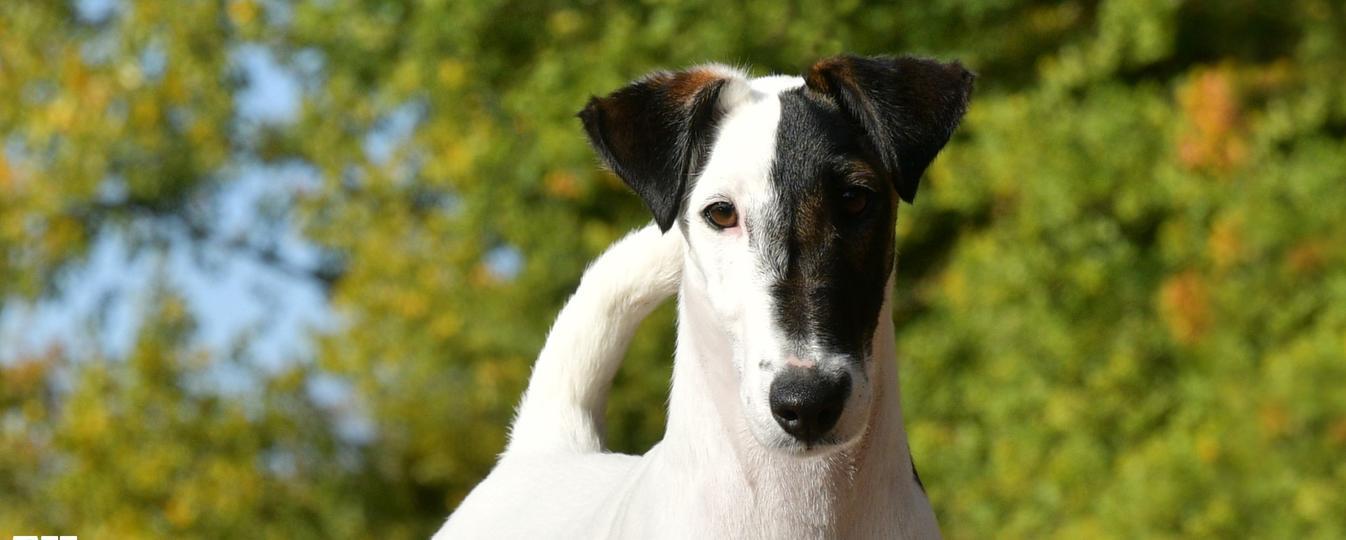 Fox Terrier Poil Lisse Societe Centrale Canine