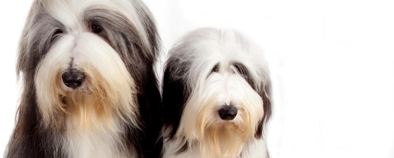 Bearded Collie Societe Centrale Canine