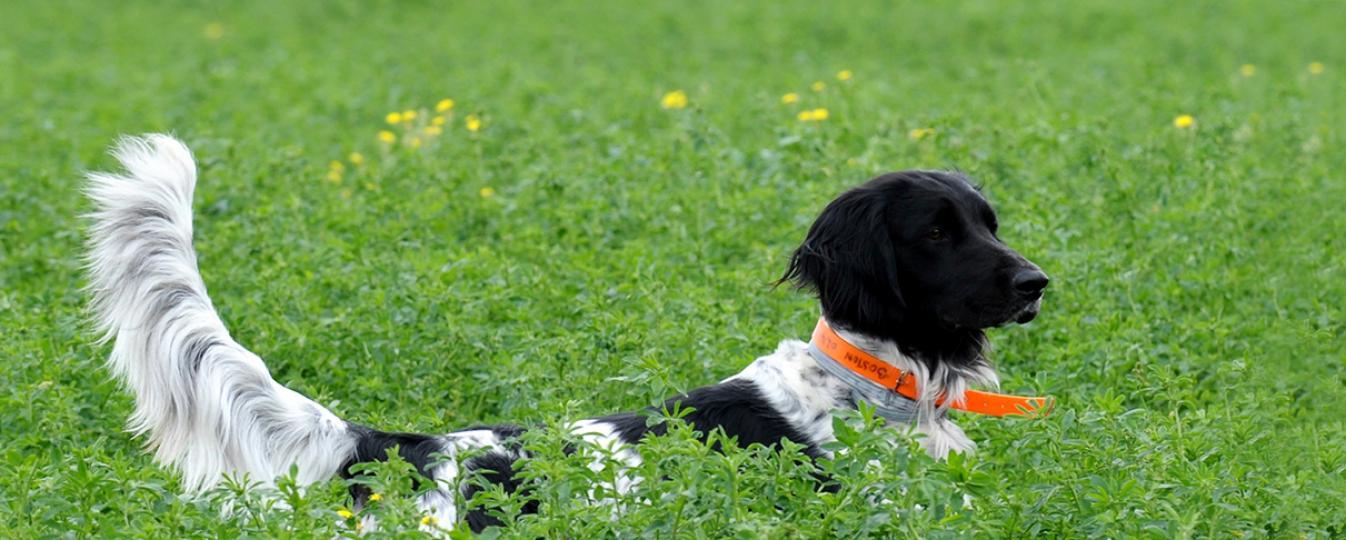 centrale canine munsterlander
