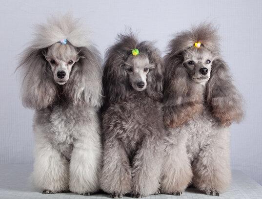 Caniche Societe Centrale Canine
