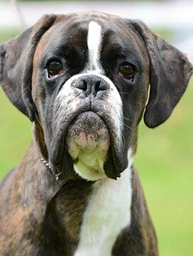 Boxer Societe Centrale Canine