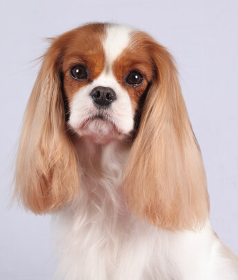 Cavalier King Charles Societe Centrale Canine