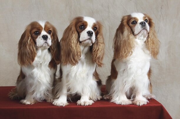 Cavalier King Charles Societe Centrale Canine