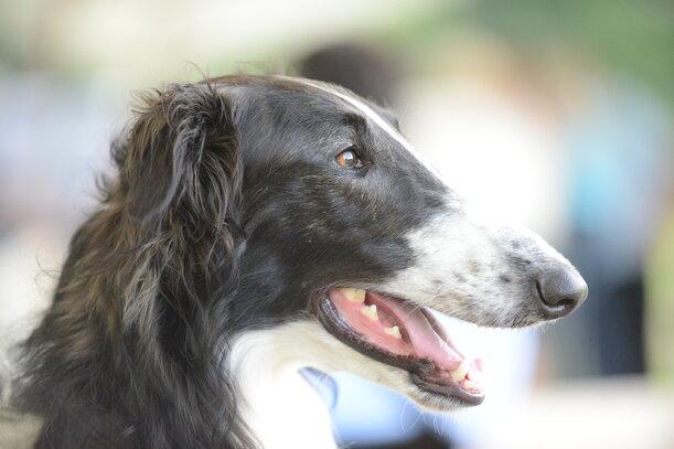 Barzoi Societe Centrale Canine