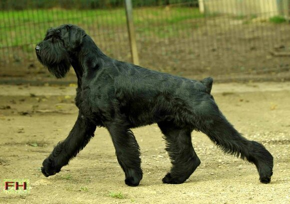centrale canine schnauzer