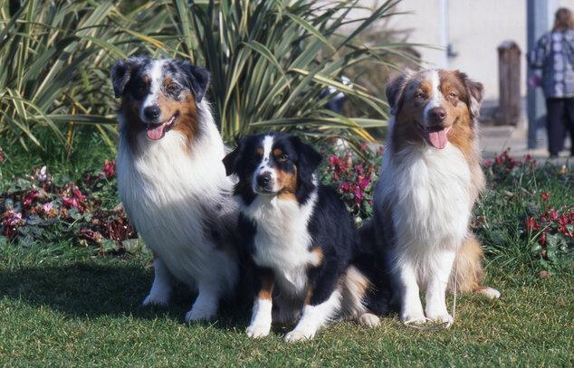 centrale canine berger australien