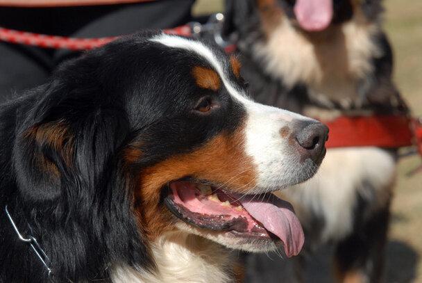 Bouvier Bernois Societe Centrale Canine