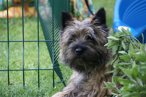 Cairn Terrier Societe Centrale Canine